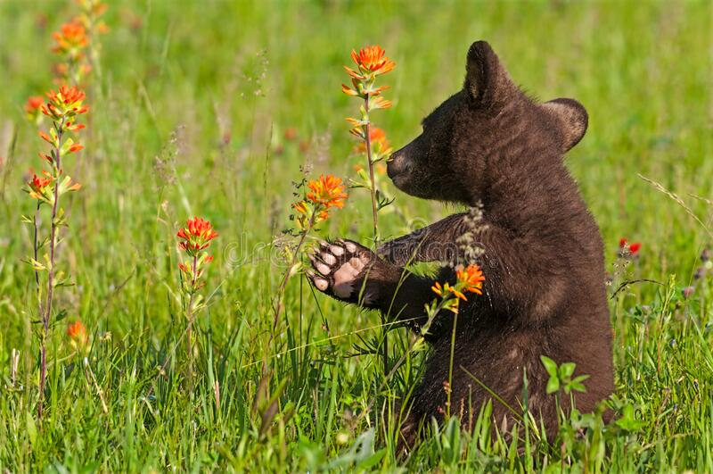 Black Bear Cub Ursus americanus Turns Back to Sniff Prairie Fire Flower Summer. Captive animal royalty free stock photography