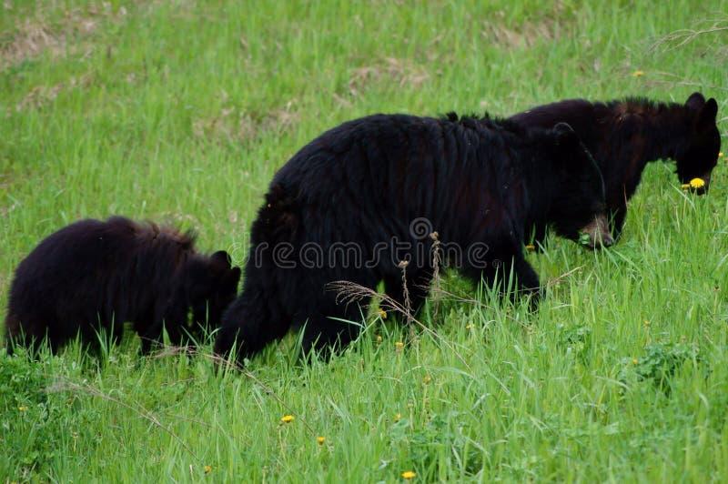 Download Black Bear stock image. Image of black, grazing, columbia - 51716391