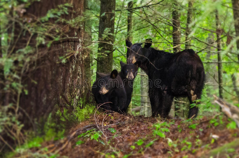 Mother Black Bear and two Cubs Cades Cove GSMNP. Mother Black Bear defending two cubs staring at photographer in Cades Cove in Great Smoky Mountain National Park stock images