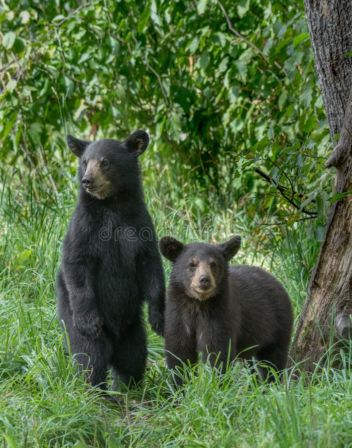 Black bear cubs. Look for their mother royalty free stock images