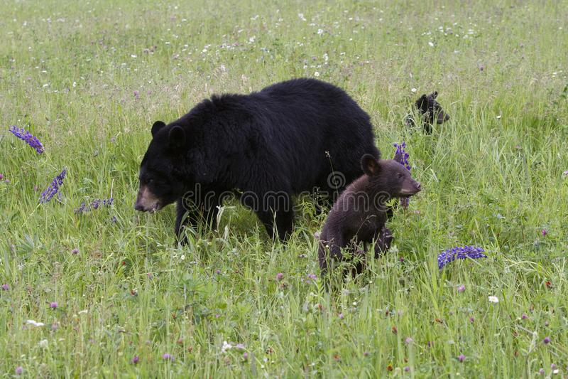 Black Bear Cubs Staying Close to Mom. Black bear cubs playing in a meadow near mom royalty free stock photography