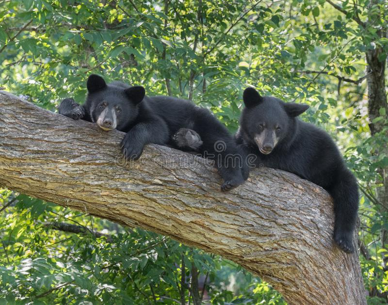 Black bear cubs in a tree stock photography