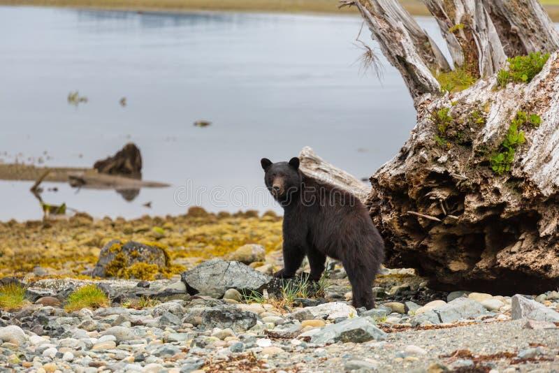 Black bear stock photos