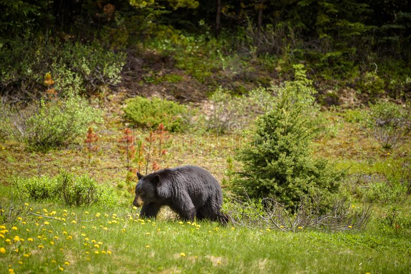 Black Bear in forests of Banff and Jasper National Park, Canada. Wild Black Bear walks in forests of Banff and Jasper National Park, Canada situated in canadian royalty free stock images