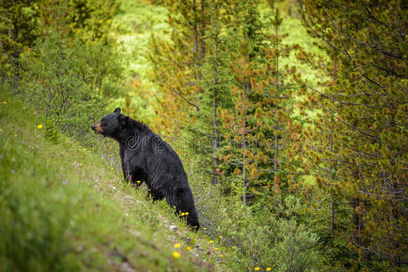 Black Bear in forests of Banff and Jasper National Park, Canada. Wild Black Bear walks uphill in forests of Banff and Jasper National Park, Canada situated in stock photography