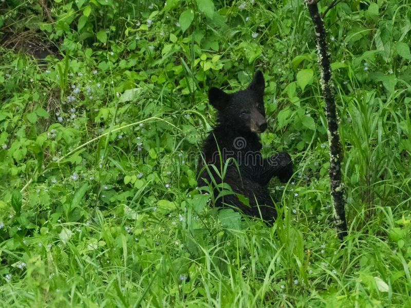 A black bear in the Great Smoky Mountains royalty free stock photography