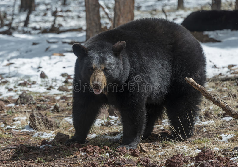 Black Bear Growling royalty free stock photography