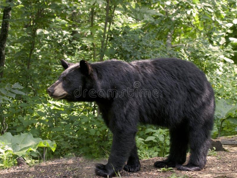 Download Black Bear in Habitat stock image. Image of animal, forest - 30475353