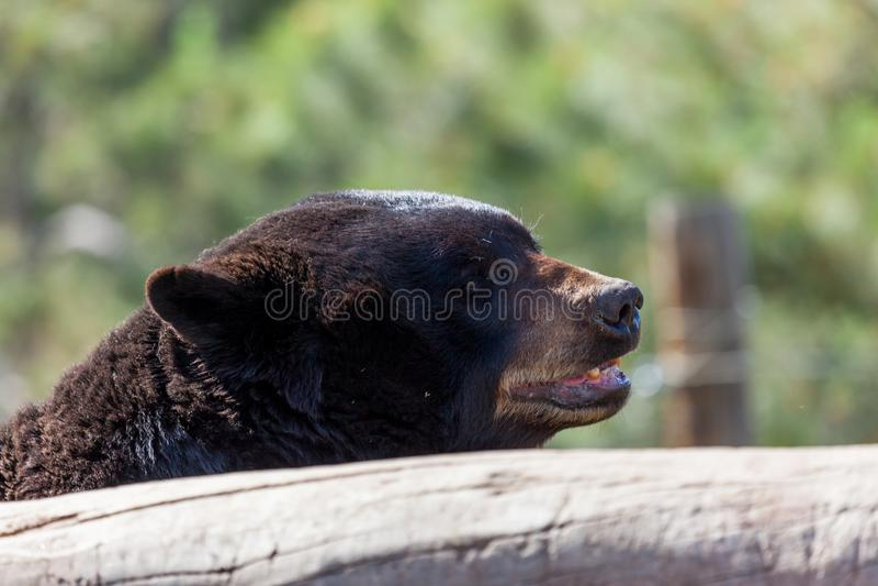 Black Bear by a Log royalty free stock image