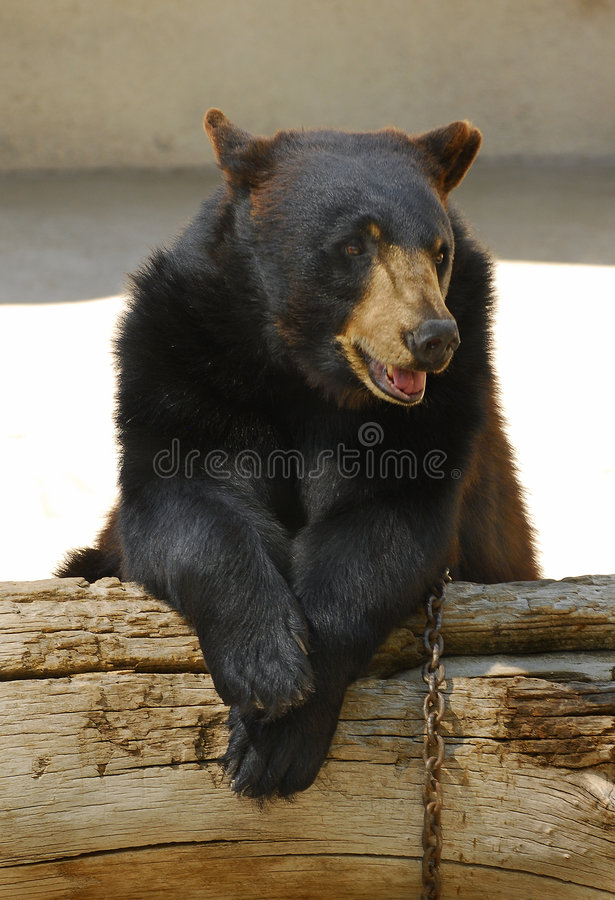 Free Black Bear Looking Bored Stock Photos - 6119113