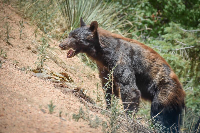 Black Bear Open Mouth on Mountainside Colorado stock photography