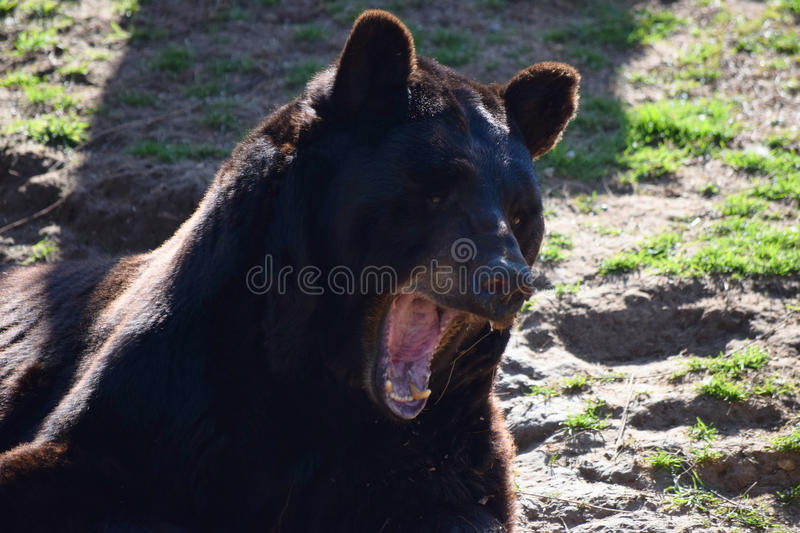 Black Bear Opens Mouth stock images