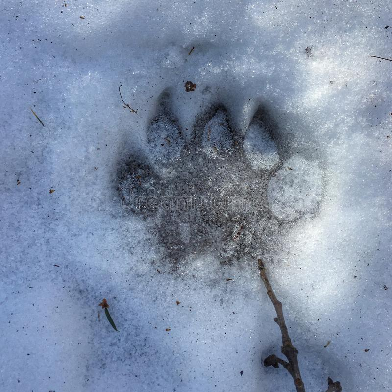 Black Bear Print stock photography