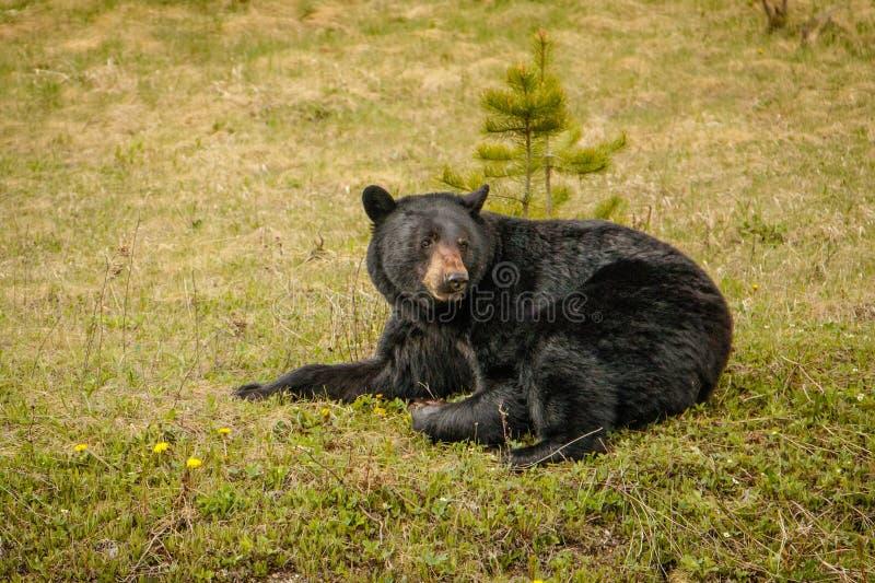 Black bear resting on green grass beside of highway stock image