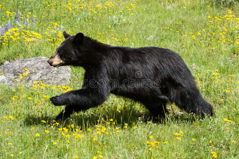 Black bear running through field of green grass and yellow wildflowers royalty free stock photo