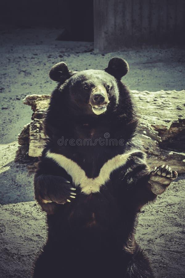 Black bear, salutes, zoo scene. Wildlife Black bear, salutes, zoo scene royalty free stock images