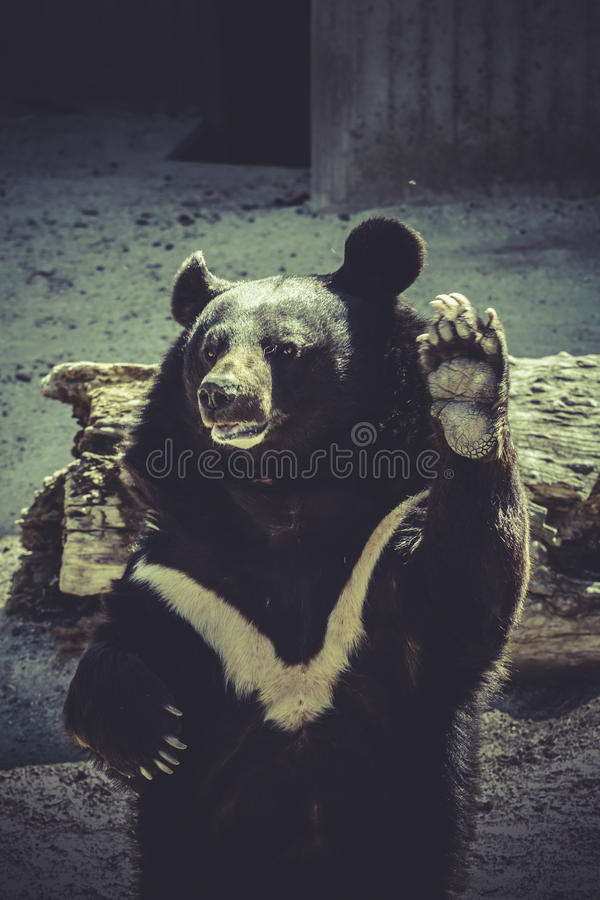 Black bear, salutes, zoo scene. Wildlife Black bear, salutes, zoo scene royalty free stock photo