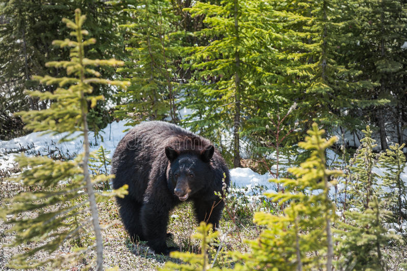 Black bear side view royalty free stock images