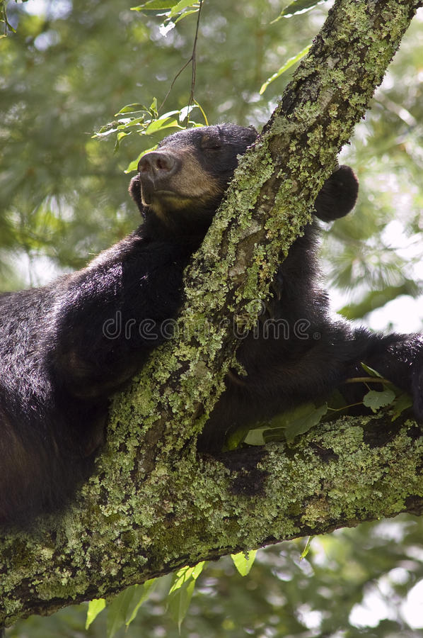 Black Bear Sleeoing in Tree royalty free stock photos