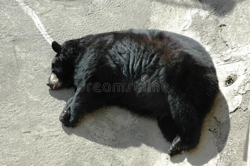 Black Bear Sleepy royalty free stock image