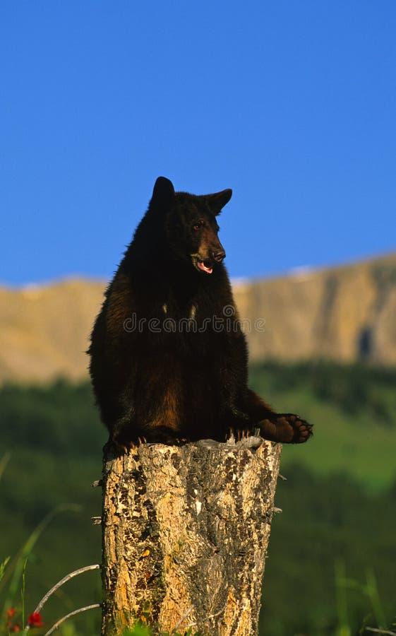 Download Black Bear on Stump stock photo. Image of color, wildlife - 12656606