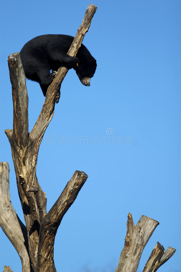 A black bear on top of a tree stock photography