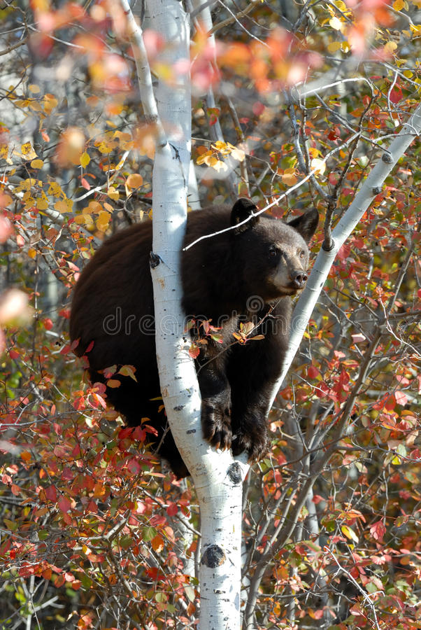Black Bear in a tree stock photo