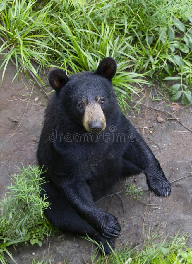 A Black Bear Ursus americans sitting in the meadow in summer in Canada stock image