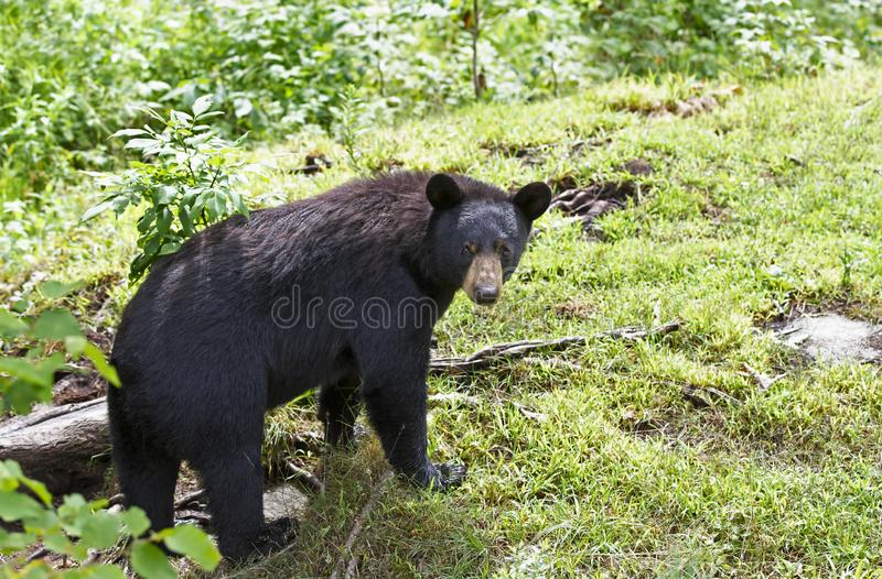 A Black Bear Ursus americans walking through the meadow in summer in Canada stock image