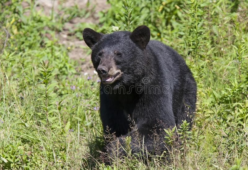 A Black Bear Ursus americans walking through the meadow in summer in Canada stock photo