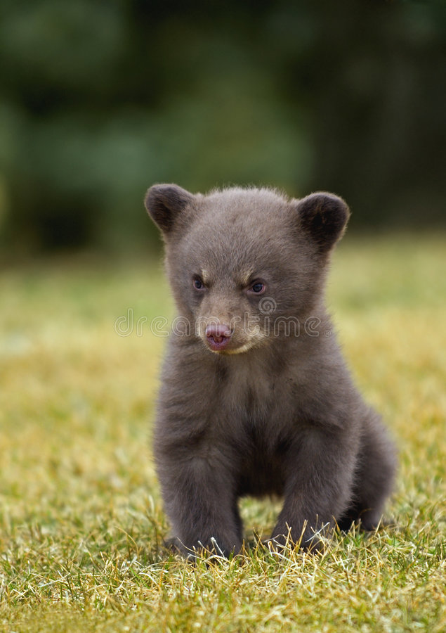 Black Bear (Ursus americanus) Cub. Sitting in the grass royalty free stock photo