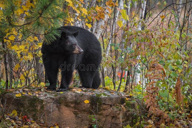 Black Bear Ursus americanus draait in de herfst van de Atop Rock stock foto's