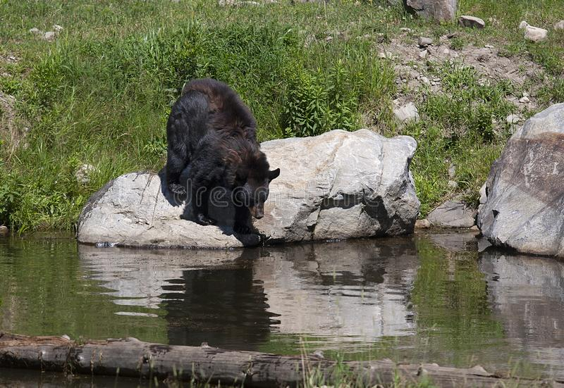 A Black bear Ursus americanus entering the pond in the meadow in autumn in Canada stock photo