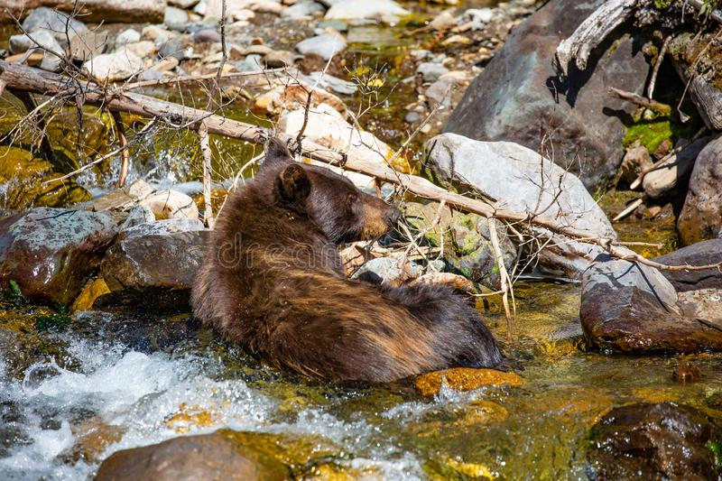 Black bear Ursus americanus relaxing in a river. American Black Bear Ursus americanus relaxing in a Montana river stock photography