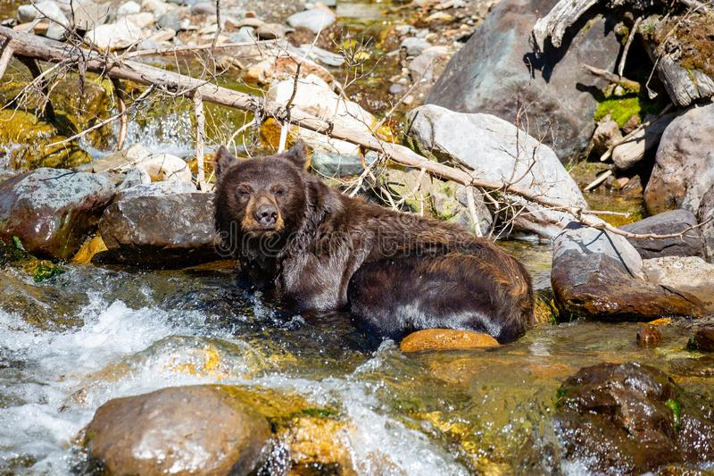 Black bear Ursus americanus relaxing in a river. Black bear Ursus americanus relaxing in a Montana river in August stock photos