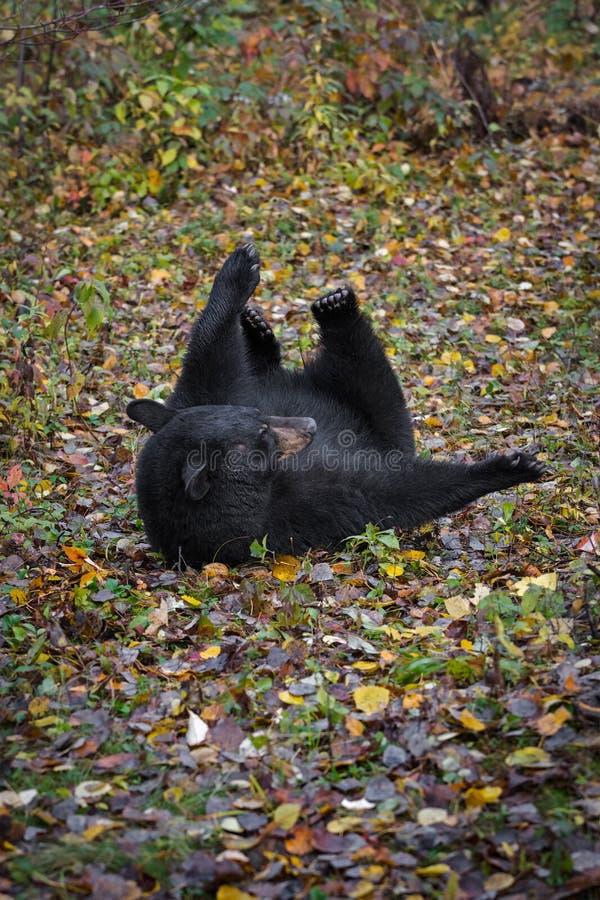 Black Bear Ursus americanus rolt terug in Leaves Autumn royalty-vrije stock foto's