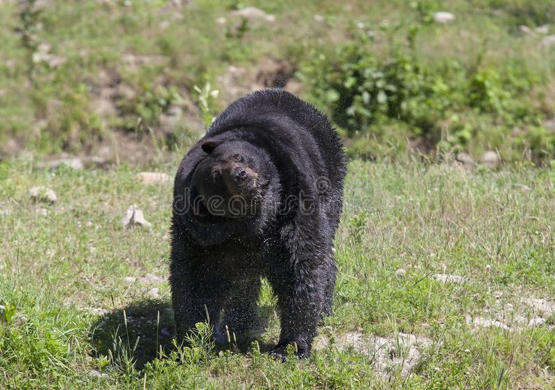 A Black bear Ursus americanus shaking off the water in a grassy meadow in autumn in Canada stock photography