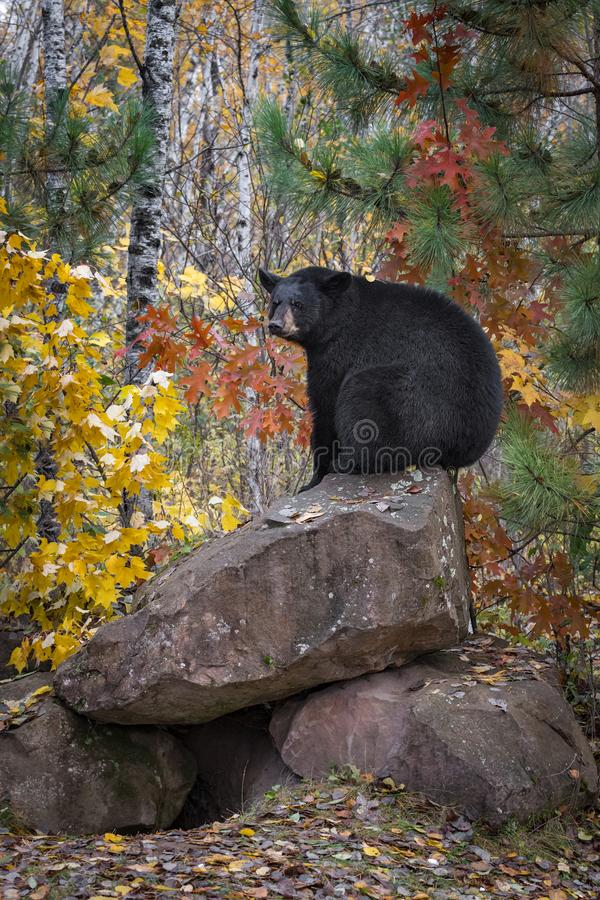 Black Bear Ursus americanus Sits Atop Rock Den Autumn stock fotografie