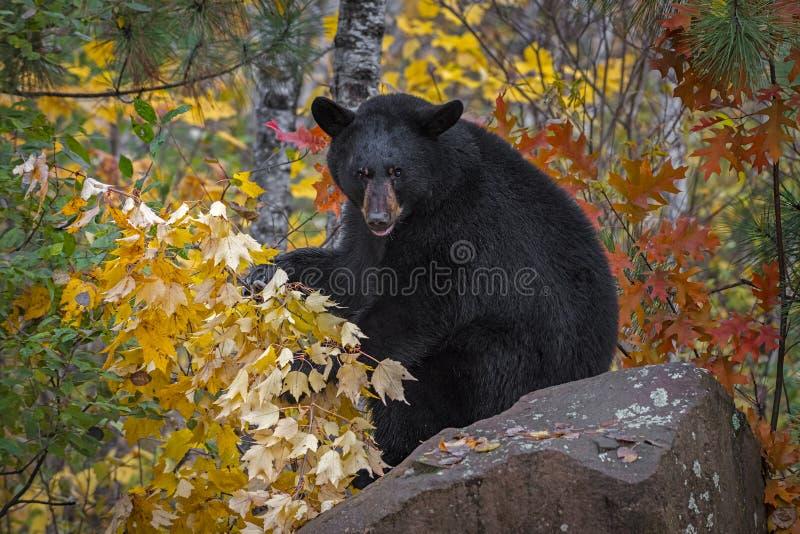 Black Bear Ursus americanus zit op Rock met Leaves Autumn royalty-vrije stock afbeelding