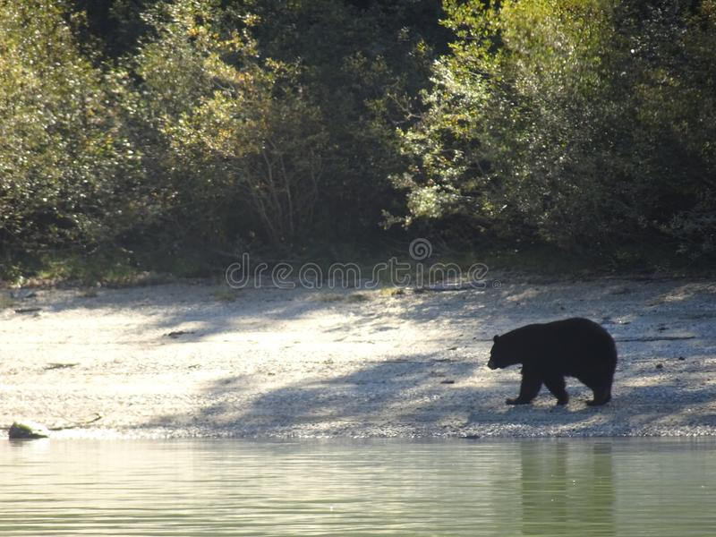 Black bear walking along the shore in Canada, British Columbia. Wonderful black bear walking along the shore in Canada, British Columbia royalty free stock photos