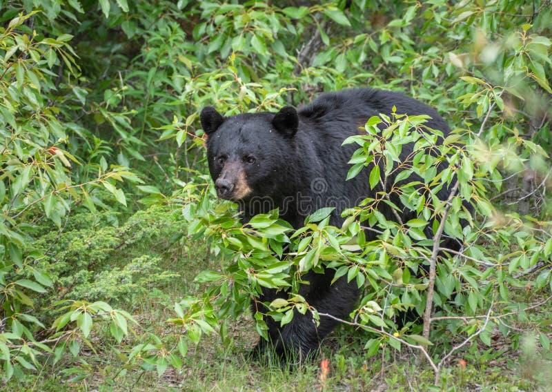 Black bear in Jasper National Park. Black bear walking in the bushes in Jasper National Park royalty free stock photos