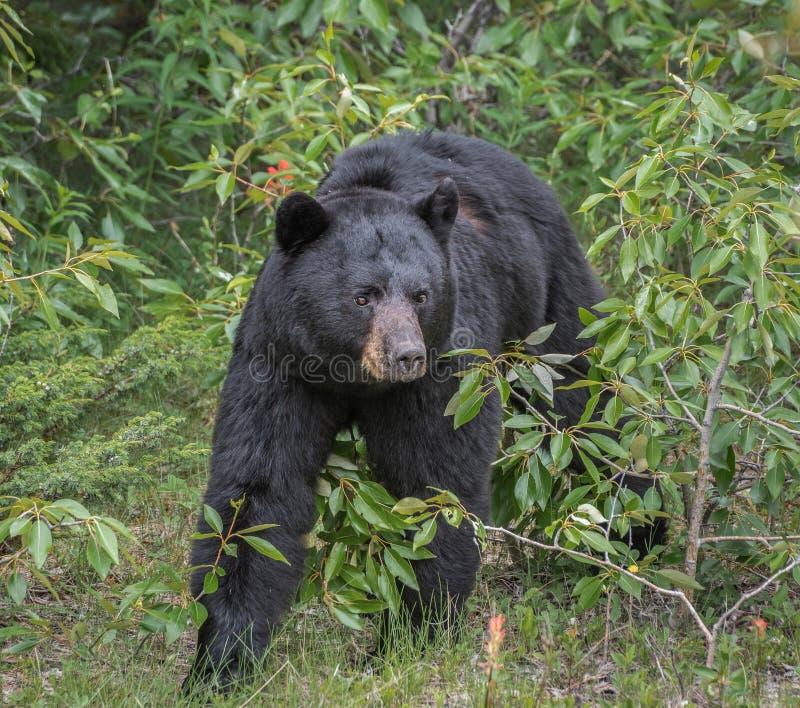 Black bear in Jasper National Park. Black bear walking in the bushes in Jasper National Park royalty free stock image