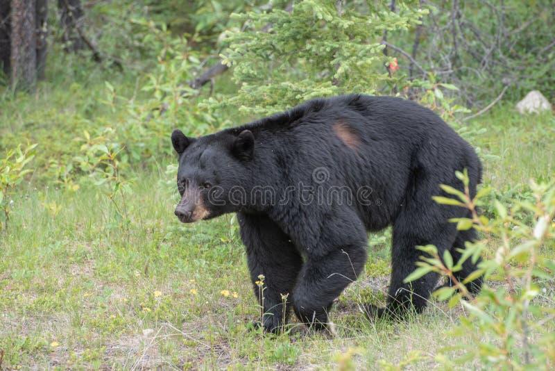 Black bear in Jasper National Park. Black bear walking in the bushes in Jasper National Park stock images