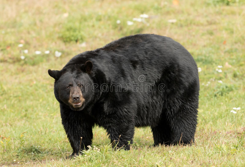 Black bear walking through the meadow royalty free stock images