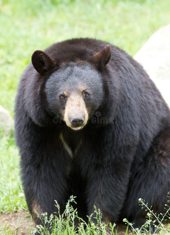 Black bear walking royalty free stock photo