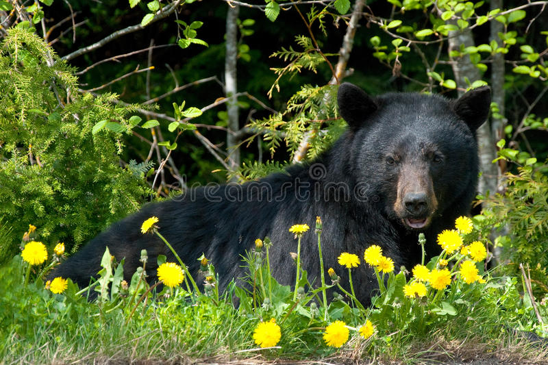 Black Bear In Wilderness Stock Photos