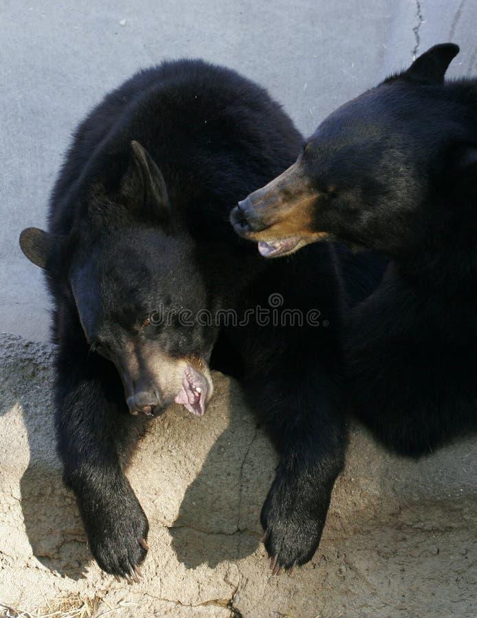 Download Black Bears stock image. Image of black, portrait, cuddle - 1419455
