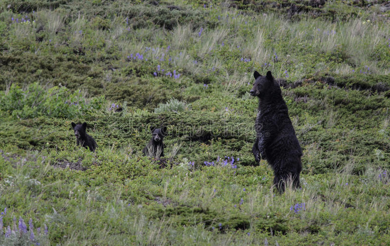 Black bears on alert royalty free stock photography