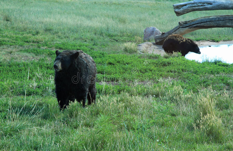 Black Bears at Bear Country. USA in South Dakota royalty free stock image