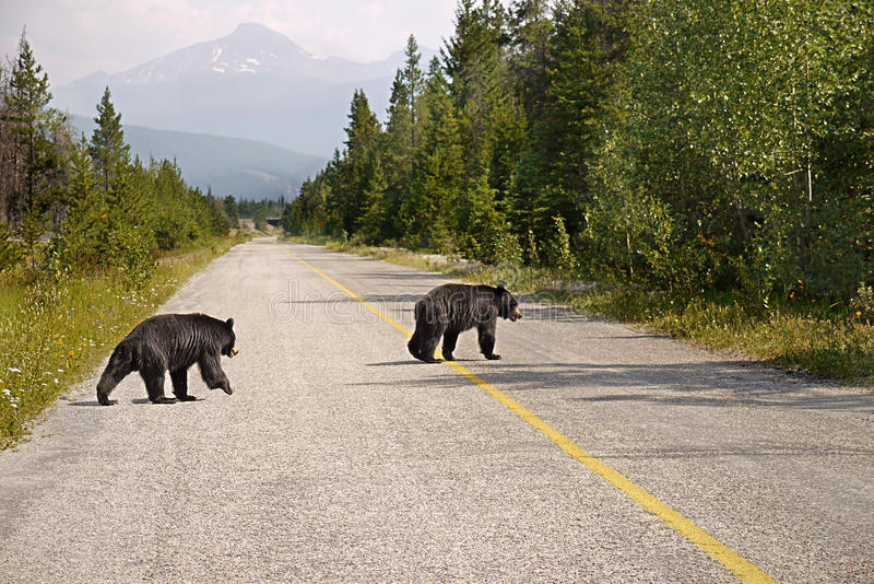 Black Bears crossing the road stock photography